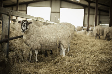 Sheep in a barn during lambing time.