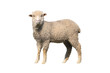 sheep isolated - 64399118