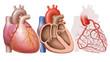 Leinwanddruck Bild - Herz des Menschen, verschiedene Ansichten