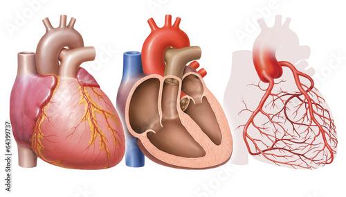 Leinwanddruck Bild Herz des Menschen, verschiedene Ansichten