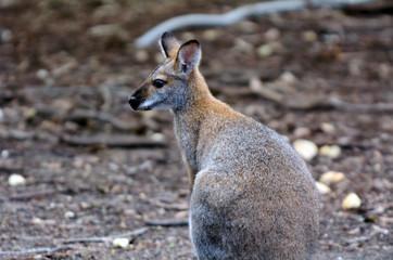 Antilopine kangaroo