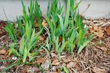 Spring Growth of Iris Flowering Plants