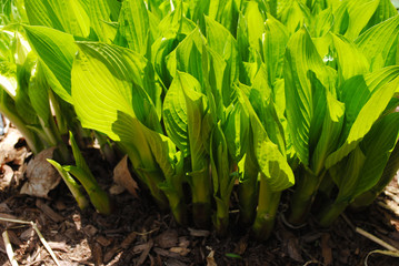 Bright Green Hosta Growing in Spring