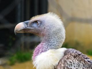 Ritratto di un avvoltoio