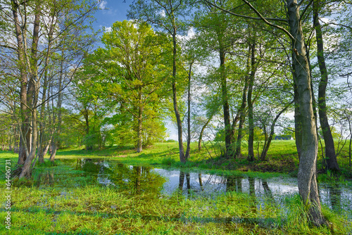 Trees in the swamp. Nature reserve. - 64406731