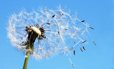 Pusteblume mit fliegenden Samen © J.Mühlbauer exclus.
