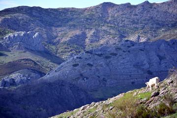 Montañas de los picos de europa con vaca pastando