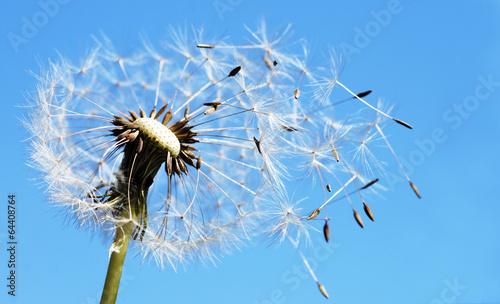 canvas print picture Pusteblume mit fliegenden Samen