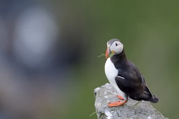 Atlantic Puffin standing cliff edge with grass in beak.