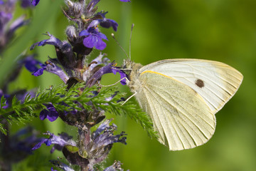 Cabbage butterfly closeup on a blue flower. macro horizontal