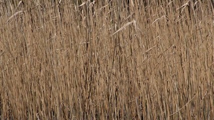 Reed on lake.