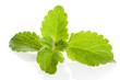 Stevia-Blätter