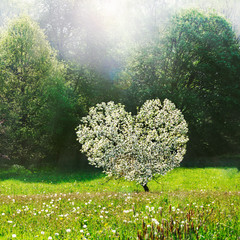 Flowering, Heart-Shaped Apple Tree