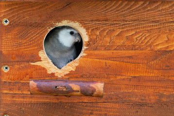 Cockatiel bird parrot through a nest box's hole