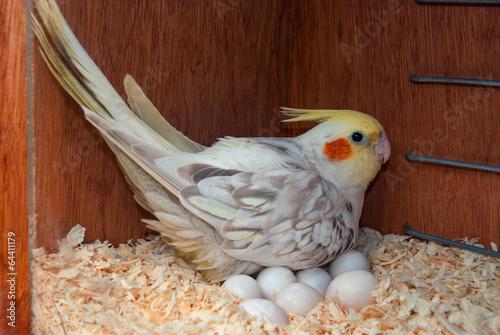 Foto op Plexiglas Papegaai A cockatiel bird incubating its eggs inside a nest box