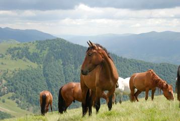 Закарпатье, лошади пасутся 04