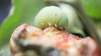 tomato worm finishes eating