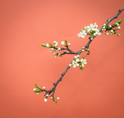 Branch of cherry flowers on pink-orange background.