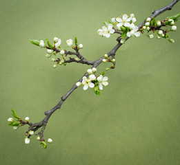 Branch of cherry flowers on green background.