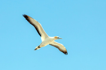Gannet at Muriwai Beach, Auckland, New Zealand