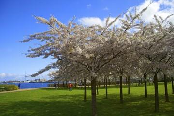 Ciliegi Sakura, Copenaghen