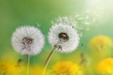 Dandelion clock in morning sun - 64415143