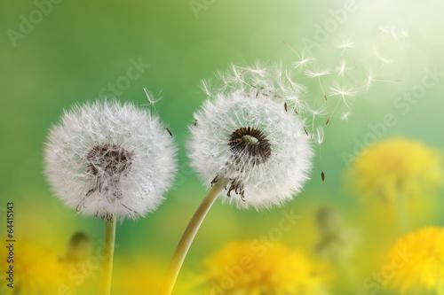 Leinwanddruck Bild Dandelion clock in morning sun