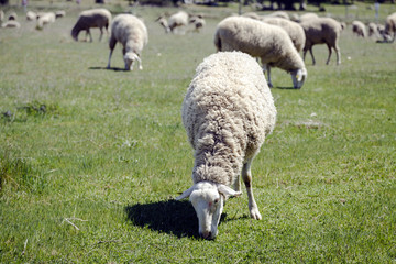 sheep grazing pasture eating