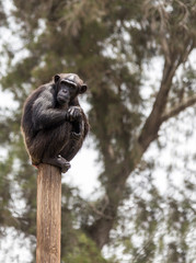 chimpanzee sitting on a pole