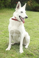 White Shepherd Dog in the garden