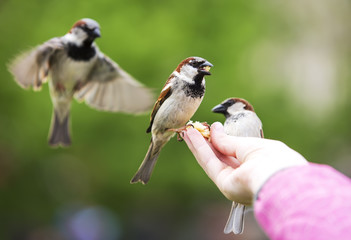 Sparrows eating from child hand.