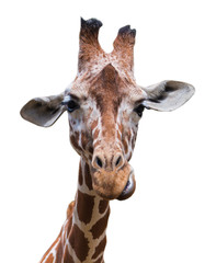 Portrait of a giraffe isolated