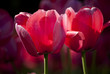 spring bloom tulips