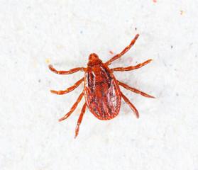 Male rhipicephalus sanguineus