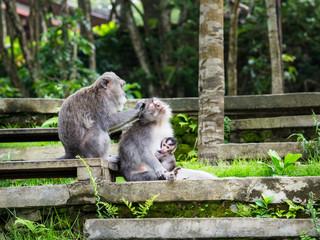 family of monkeys in the monkey forest on Bali