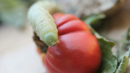 tomato worm waving legs in the air