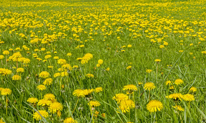 Large field of dandelion flowers