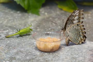Sitzender Schmetterling beim Mittagessen