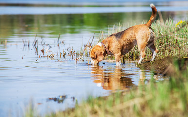 Beagle drinks water from the forest pond