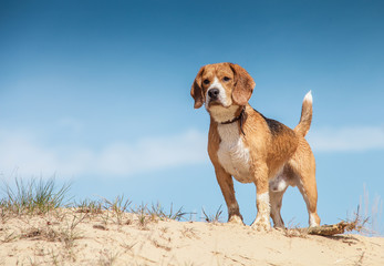 Wet beagle standing on the sand hill