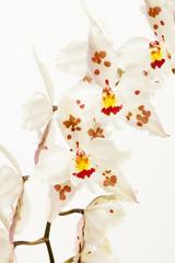 Odontoglossum crispum orchid