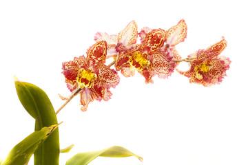 odantoglossum hybrid orchid