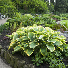 Hosta or Funkia in yellow and green colors on  flowerbed