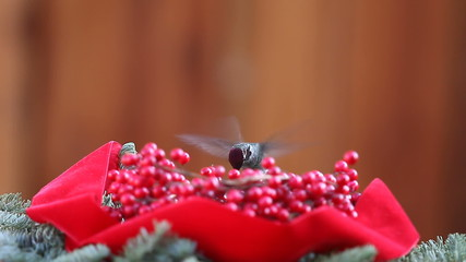 hummingbird with Christmas berries