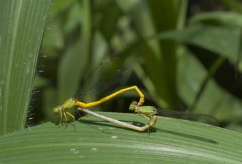 Mated damslflies on leaf