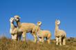Leinwanddruck Bild - Herd of Lamas in the Wilderness