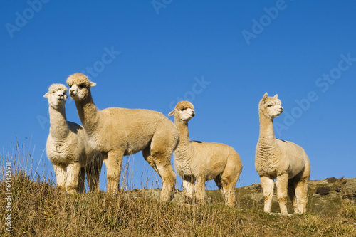 Aluminium Lama Herd of Lamas in the Wilderness