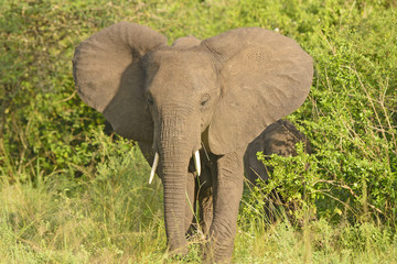 Afircan Elephant in bush