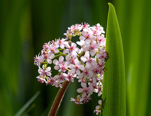 Marsh Valerian  Flower and Reed