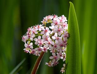 Marsh Valerian  Flower and Reed